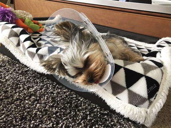 犬 去勢手術後 様子