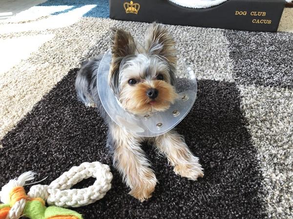 犬 去勢手術後 散歩