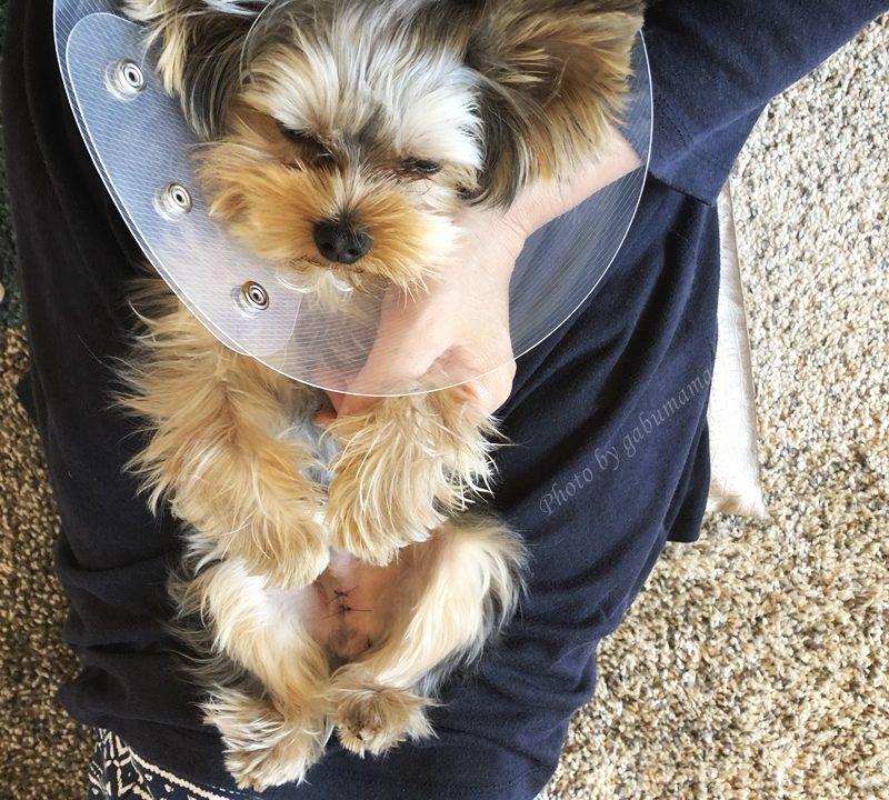 犬 去勢手術後 写真
