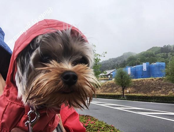 ヨーキー 雨 お散歩