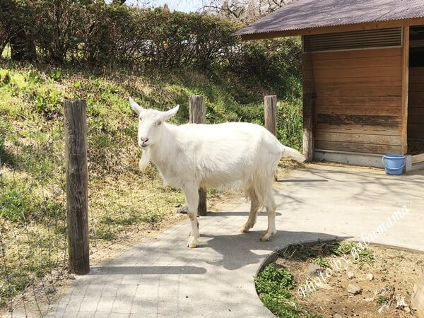 伊香保グリーン牧場 ヤギ