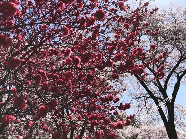 伊香保グリーン牧場 桜