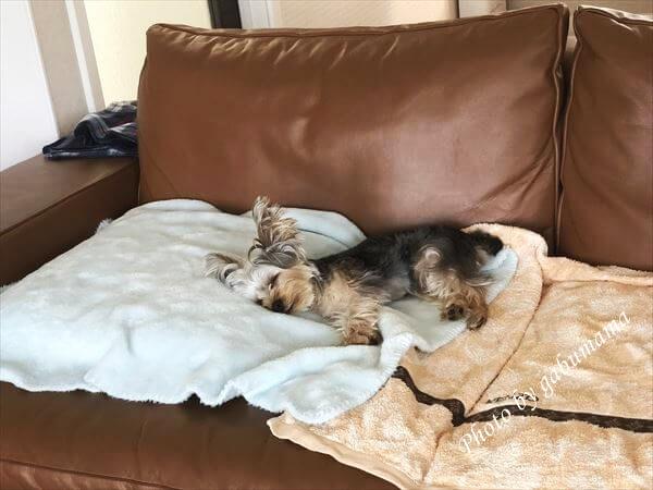 犬 ソファー 寝る